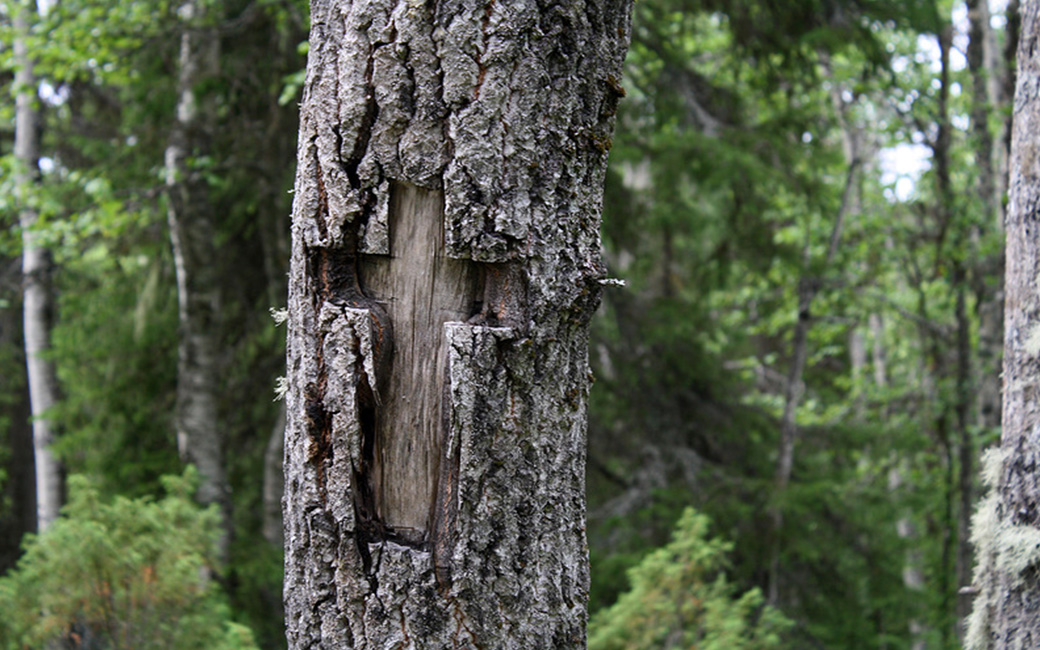 крест на коре дерева. Соловки. Фото А.Будовского.